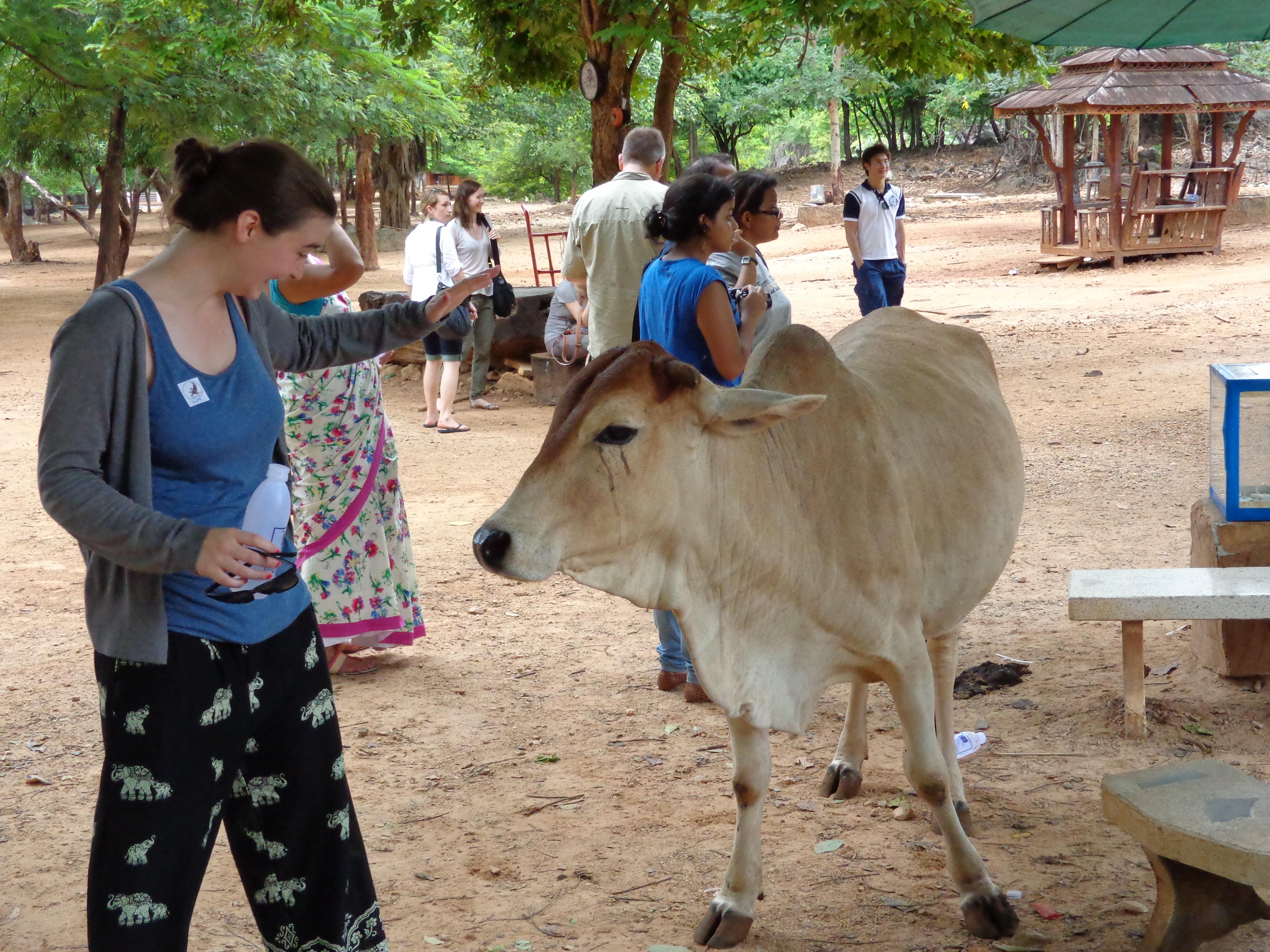 Thailand Cow